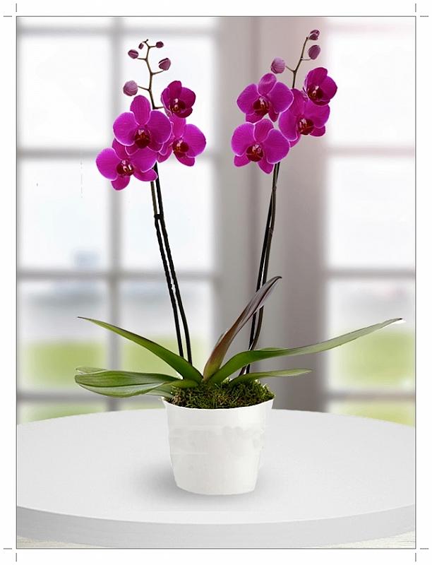 Ikili Fuşya Orkide